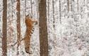 Hổ vằn thích thú, đùa nghịch như đứa trẻ khi thấy tuyết rơi
