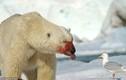 """Gấu Bắc cực đẫm máu làm điều """"dị"""" với chim mòng biển"""