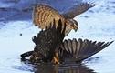 Ghê người khoảnh khắc chim diều hâu săn giết quạ gáy xám