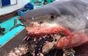 Cố nuốt rùa biển, cá mập trắng chết thảm thế này đây