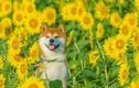 Chú chó khiến người người ghen tị khi khoe sắc bên ngàn hoa