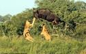 Vào lãnh địa sư tử đói, linh dương thoát chết ngoạn mục