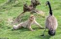 Thấy ngỗng mẹ hung dữ, khỉ đuôi dài bỗng hành động lạ