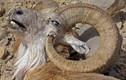 """Thê thảm cảnh cừu núi bị giết bởi cặp sừng """"khủng"""" của mình"""