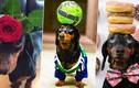 Chó xúc xích nổi tiếng nhờ biệt tài ai xem cũng phục