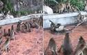 """Trăn săn giết khỉ con """"bạo lực"""" và hành động bất ngờ của cả đàn..."""