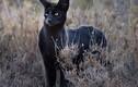 Sự thực mèo đen huyền thoại châu Phi xuất hiện quyến rũ