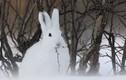 Loài thỏ kỳ lạ thấy lạnh sẽ chui vào tuyết... cho ấm