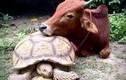 Rùa khổng lồ cưu mang bò cụt chân, trở thành bạn trí cốt