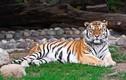 Lo sợ tranh giành lãnh thổ, hổ vằn săn giết bé trai
