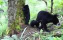 """Cho con bú bị quay lén, gấu đen """"ngượng chín mặt"""" và hành động..."""