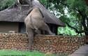 """Lén trèo tường ăn cắp xoài, voi khổng lồ bị """"bắt"""" tại trận"""