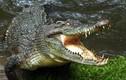 """Hết hồn cảnh cứu rùa gặp nạn, đụng ngay cá sấu """"tử thần"""""""