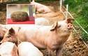 """Tưởng vớ được """"kho báu"""" trong bụng lợn đáng giá cả trăm triệu, ai ngờ"""