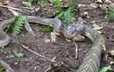 Hổ mang chúa giết chết và nuốt chửng rắn săn chuột trong tích tắc