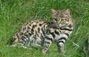 """Loài mèo đáng yêu nhưng là """"tay"""" săn mồi hiệu quả nhất hành tinh"""