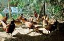 Lào Cai phát hiện cúm A/H5N6 trên đàn chim trĩ đỏ