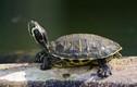 Độc chiêu đoán cát hung bằng rùa thời Trung Quốc cổ đại