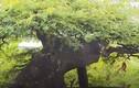 Chiêm ngưỡng me bonsai cổ thụ độc đáo giá đắt đỏ
