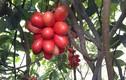 """Loài cây quả máu ăn đẹp da ở Mào Sán Cáu vẫn trong vòng """"bí ẩn"""""""