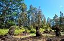 Bí ẩn khó tin về rừng cây nham thạch độc nhất hành tinh