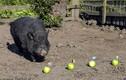 Kinh ngạc chú lợn tiên tri cực chuẩn xác nổi tiếng thế giới