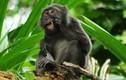 Khám phá loài khỉ chuyên nhặt lông chim để xỉa răng