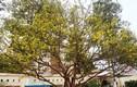 Chiêm ngưỡng cây mai 90 năm tuổi được rao bán 1 tỷ đồng