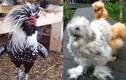 Những giống gà ngoại siêu đắt đỏ gây sốt ở Việt Nam