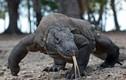 Kinh hãi với màn nuốt trọn lợn rừng của rồng Komodo