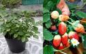 Những giống rau Nhật đang gây sốt ở Việt Nam
