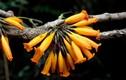 Công dụng chữa bệnh ít người biết của cây rà đẹt lửa