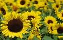 Bài thuốc chữa bệnh từ loài hoa của mặt trời