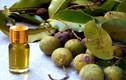 Bài thuốc hay chữa bách bệnh hiệu quả từ mủ cây mù u