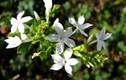 Chữa đau xương khớp, dạ dày hiệu quả từ cây bạch hoa xà