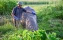 Nghề nuôi trâu chọi tốn cả trăm triệu mỗi năm ở Đồ Sơn
