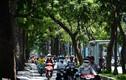 Dân Sài Gòn tiếc nuối mất thêm hàng cây cổ thụ