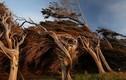 Kỳ quái cây biến dạng ở New Zealand