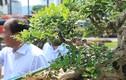 Siêu phẩm nguyệt quế cổ thụ dáng thác đổ đẹp nhất Việt Nam có giá tiền tỷ