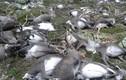 Hơn 200 con tuần lộc chết la liệt vì thiếu thức ăn