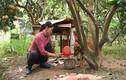 """Video: Thả chó dữ chống """"bưởi tặc"""" ở làng bưởi Diễn"""