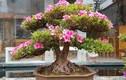 """Video: Đỗ quyên bonsai """"hét"""" giá gần 1 tỷ mà vẫn đuổi không hết khách"""