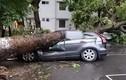 Video: Cây cổ thụ bất ngờ đổ rạp, đè trúng ô tô đang chạy