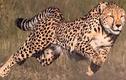 Video: Báo đốm phục kích tóm gọn chó nhà trong nháy mắt