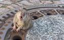 Video: Điều cả biệt đội cứu hộ để giải cứu một...con chuột béo mắc kẹt