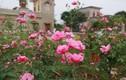 Video: Trầm trồ trước vườn hồng 60 tỷ khiến lòng người say đắm