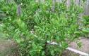 Video: Những bài thuốc quý từ cây chanh mà nhiều người không biết