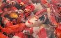Chiêm ngưỡng đẳng cấp chơi cá Koi của đại gia Việt