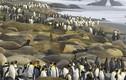Cuộc xâm lăng kinh hoàng của chim cánh cụt và hải cẩu