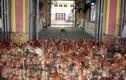 Khiếp đảm gà chết, gà sống lẫn lộn ở chợ Hà Vỹ
